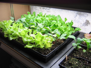 Lettuce and radishes happily growing inside