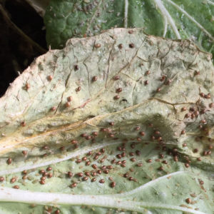 Aphid mummies galore, waiting to hatch for battle